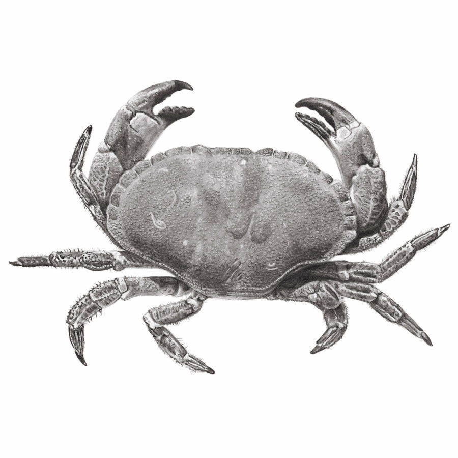 Edible Crab pencil drawing