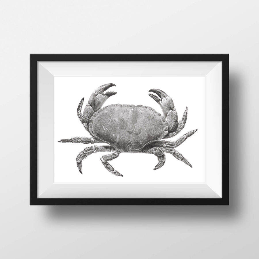Edible crab pencil drawing - framed