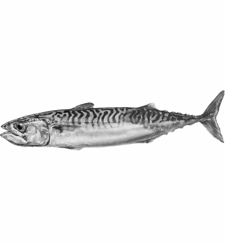 Cornish Mackerel 1