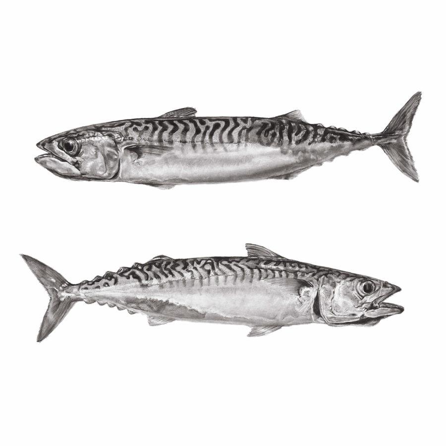 2 Cornish Mackerel