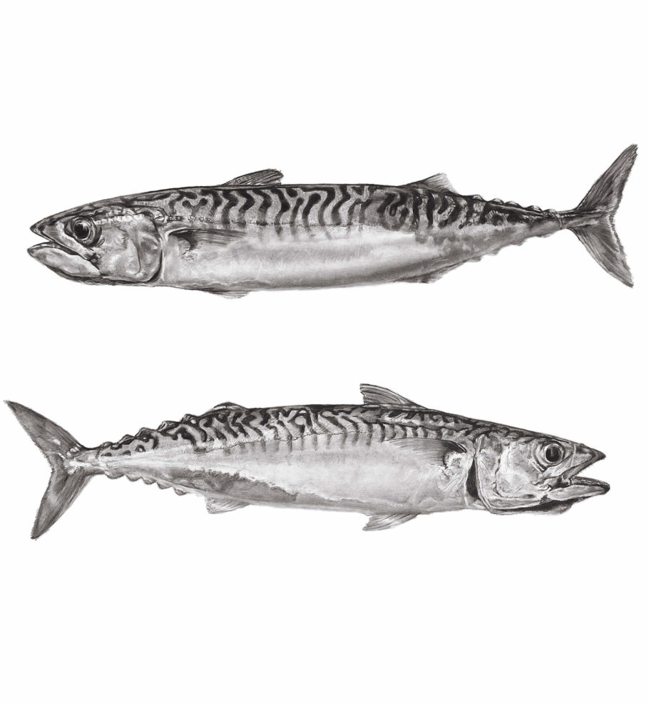 2 Cornish Mackerel