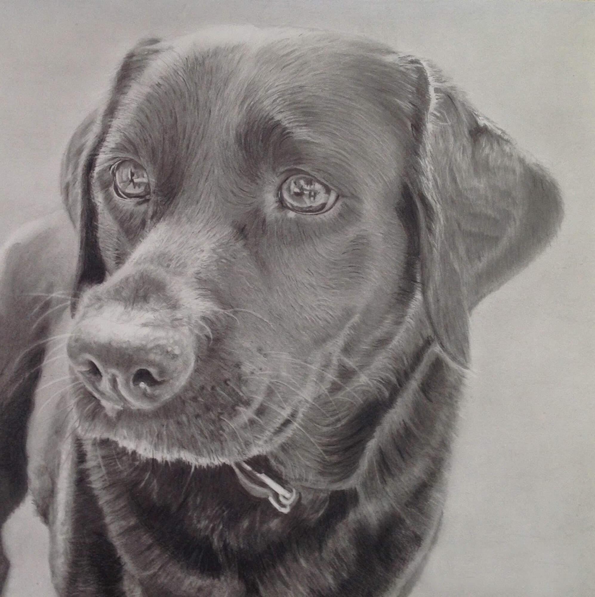 Labrador finished