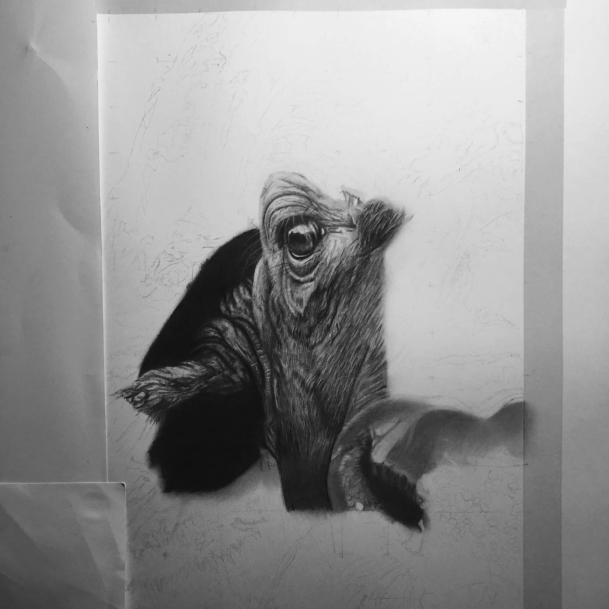African Buffalo, work in progress pencil drawing