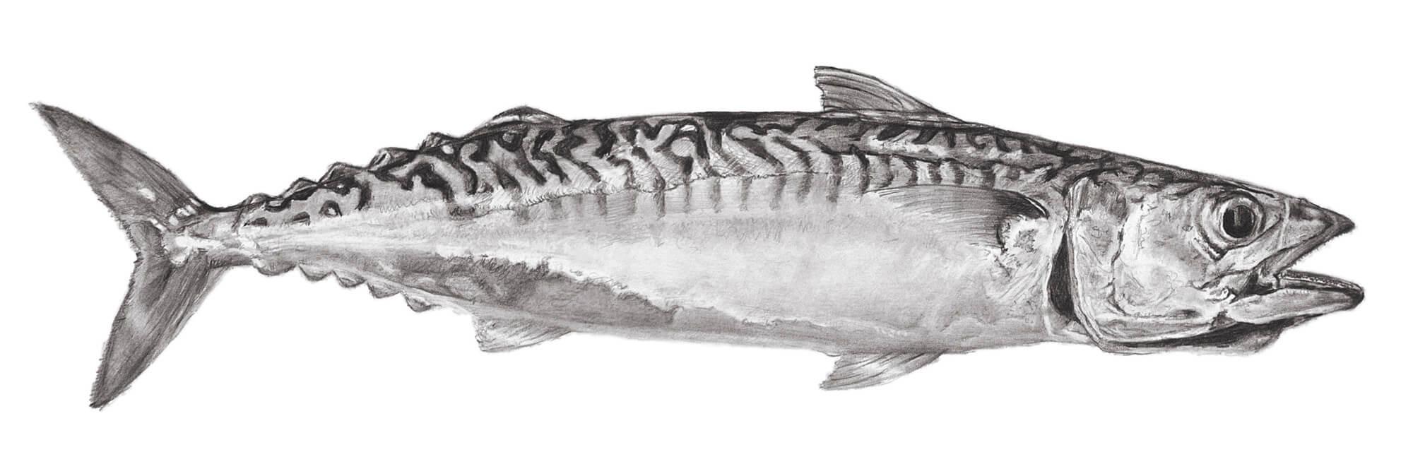 mackerel 2