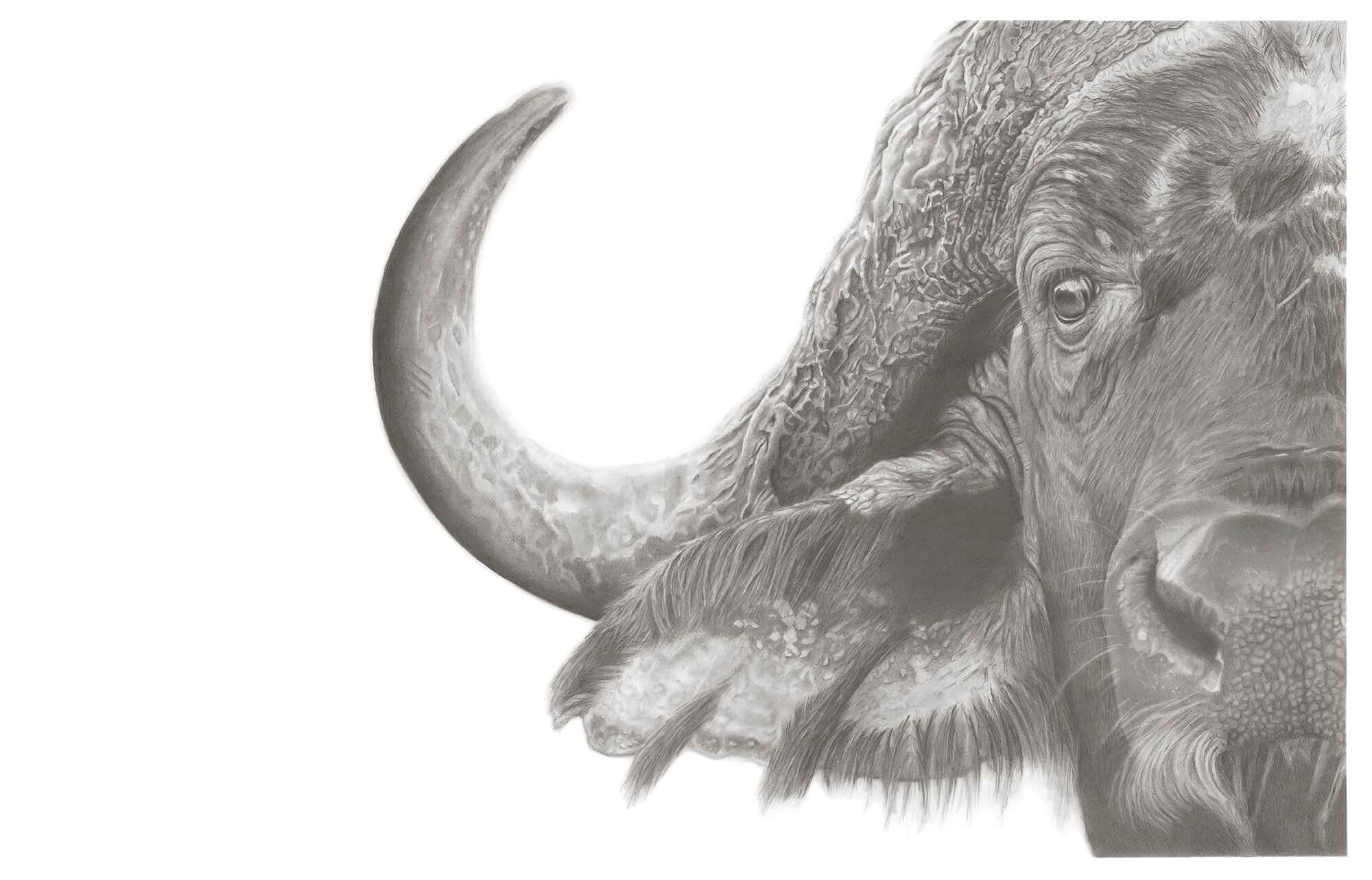 buffalo_web