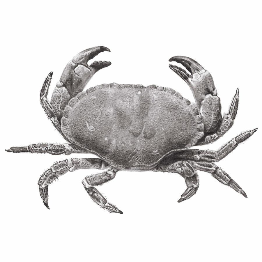Edible Crab pencil drawing