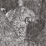 Leopard in a tree, defensive