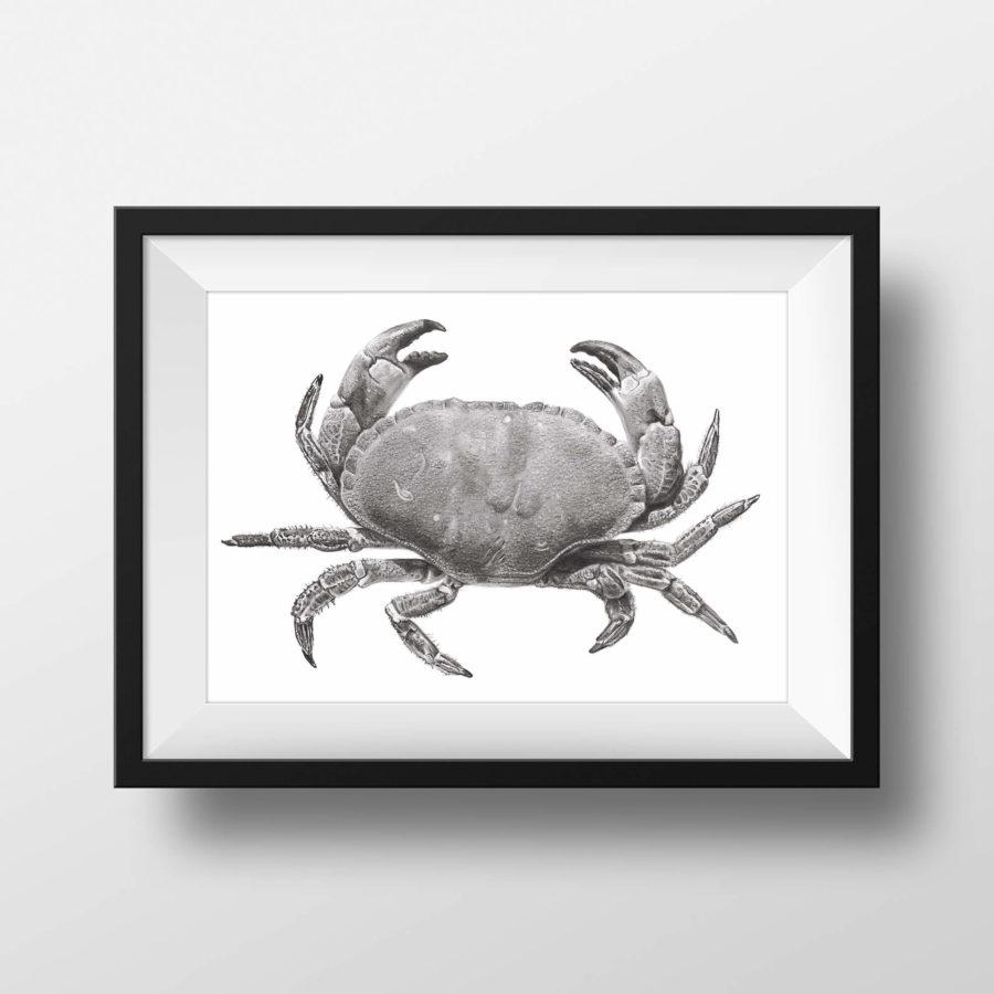 Edible crab pencil drawing - framed