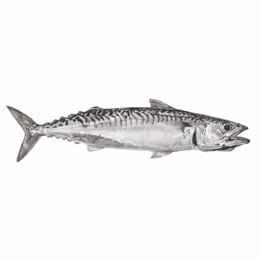 Cornish Mackerel 2