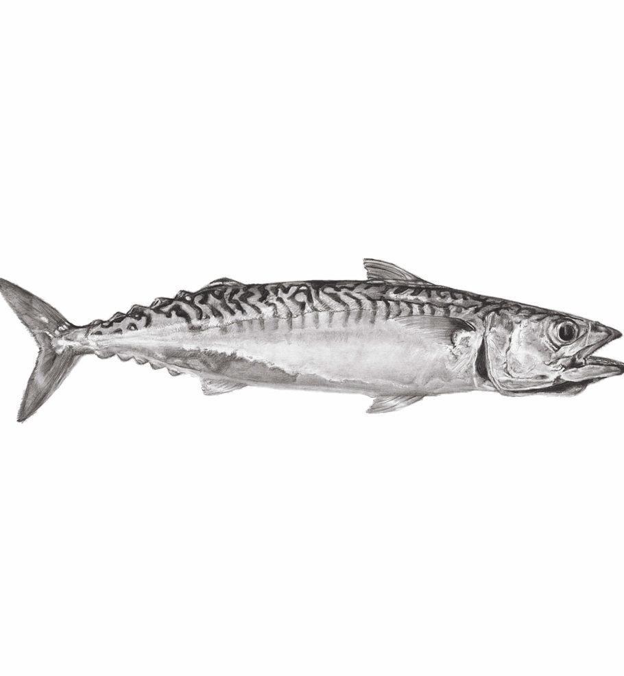 Cornish Mackerel 2