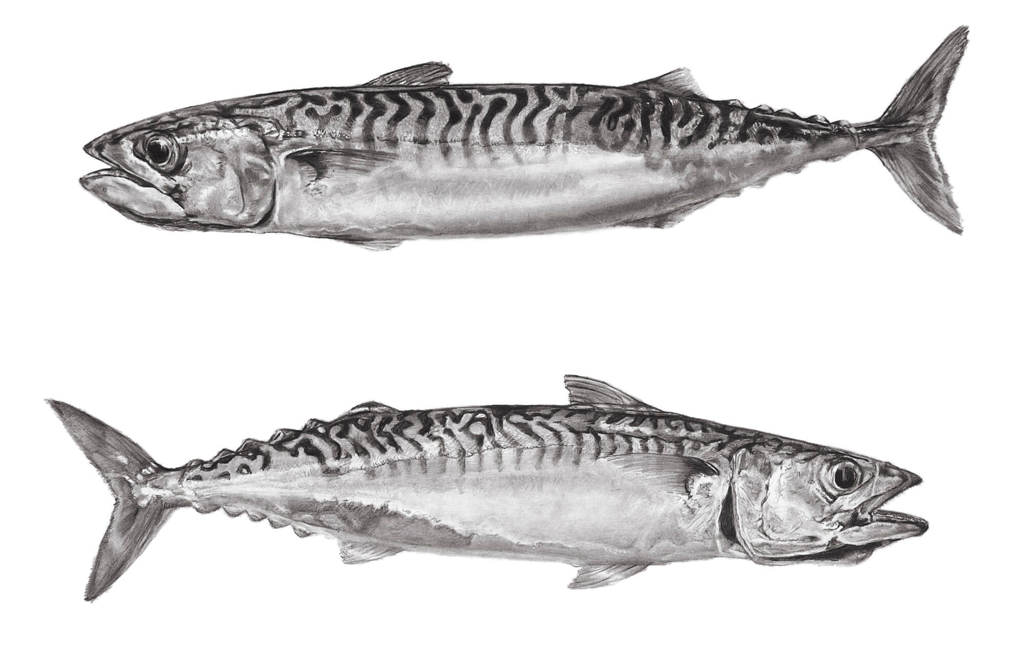 mackerel both